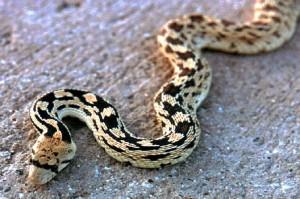 gopher_snake_lg